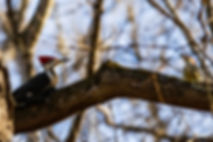 Pileated Woodpecker and Red-bellied Woodpecker – Starved Rock State Park (Photography by Kristine N. Hlava)