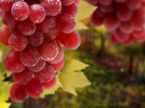 Magic Fruit – Grapes the ultimate snack food!