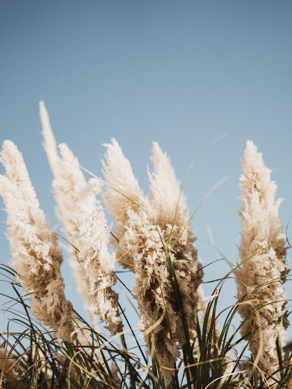 Pampas grass against blue sky_edited.jpg