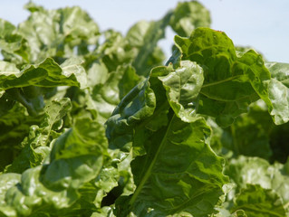 CoBank forecasts solid recovery for U.S. sugarbeet industry