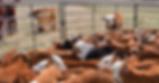 weaning-calves-FECR-JMP_3142_0.png