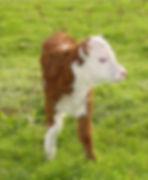 calf_261734.jpg