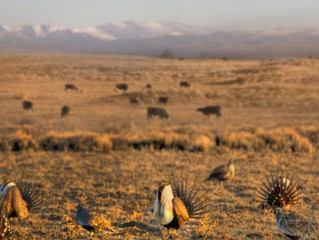 Senators press U.S. Forest Service on greater sage-grouse review