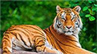 16mm-tiger.jpg