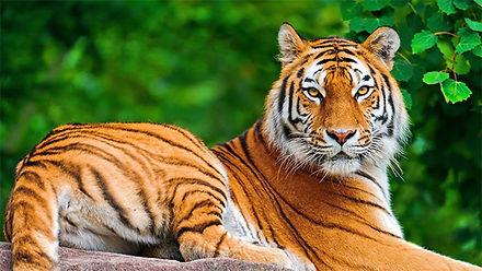 6mm-tiger.jpg
