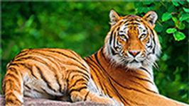 10mm-tiger.jpg
