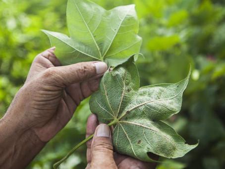 NUTRICIÓN FOLIAR EN LAS PLANTAS ES FUNDAMENTAL PARA EL USO EFICIENTE DE FERTILIZANTES