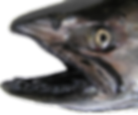 Gums and Mouth of Chinook (King) Salmon