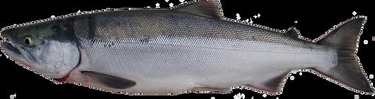 Sockeye (Red) Salmon Profile View