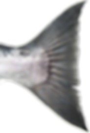 Tail of Coho (Silver) Salmon