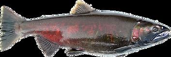 Female Spawning Coho (Silver) Salmon