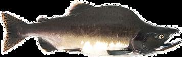 Male Spawning Pink Salmon