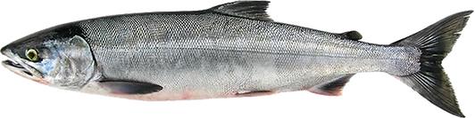 Chum (Dog) Salmon Profile View