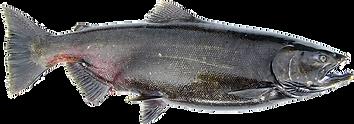 Female Spawning Chinook (King) Salmon