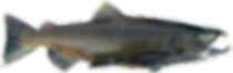 Male Spawning Chinook (King) Salmon