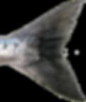 Chum (Dog) Salmon Tail