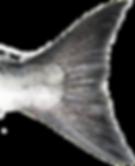 Tail of Chinook (King) Salmon