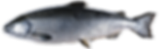 Profile view of Chinook (King) Salmon