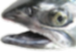 Mouth and gums Coho (Silver) Salmon