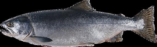 Pink Salmon Profile View