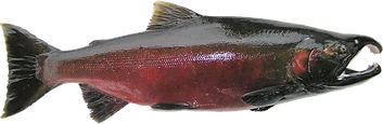 Male Spawning Coho (Silver) Salmon