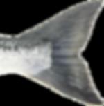 Sockeye (Red) Salmon Tail