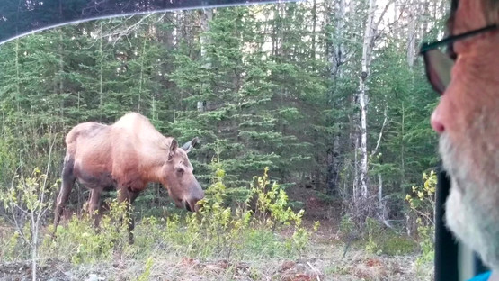 Moose along side of the road