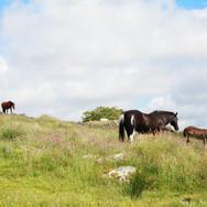 Smokey og Shawnee med andre hester i bakgrunnen