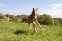 Foal at field