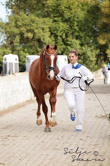 Frederiksborg hingst, avlsgodkjennelse, sportshest, kåring, Faxe, oppdretter, Kvitemyr, avl, hester,