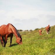 Arnikova med andre hester i bakgrunnen