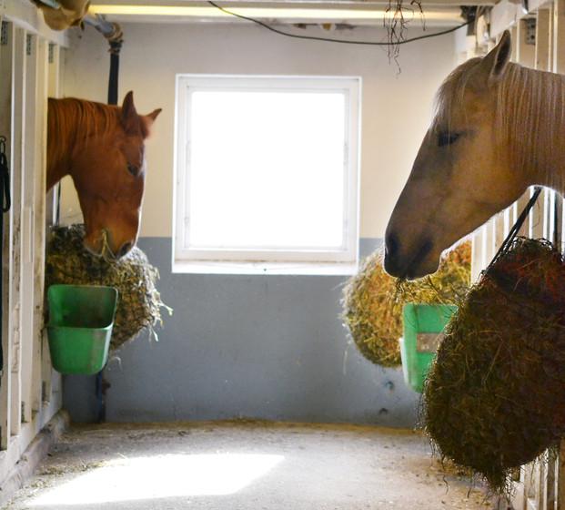 Hestene spiser mot hverandre