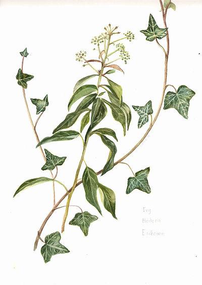 1 Ivy.jpg