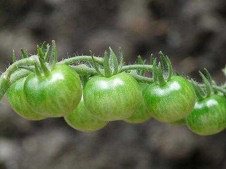 tomatoes-8409_640.jpg