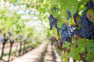 Vineyard article.jpg