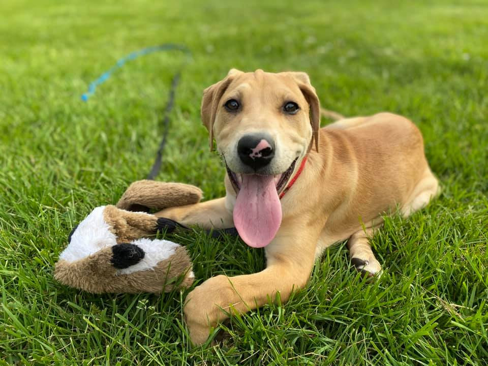 A young, tan mixed breed dog has his tongue out and his toy within reach