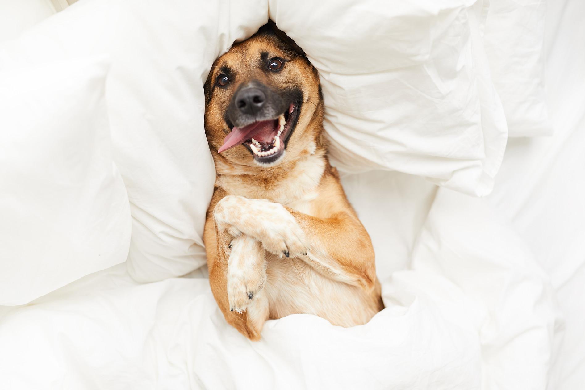 106363769-happy-dog-lying-comfortable-be