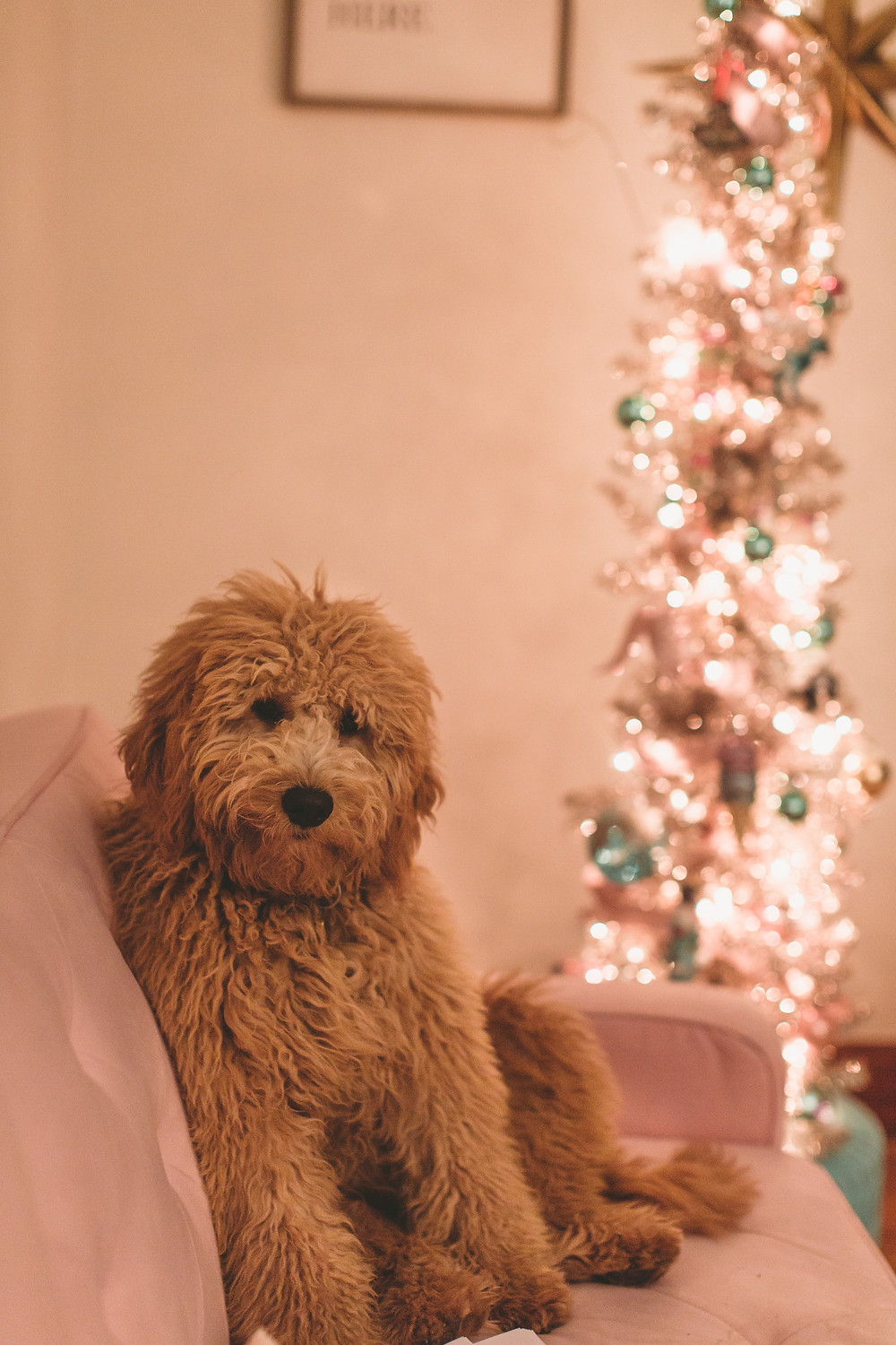 Goldendoodle, maple the goldendoodle