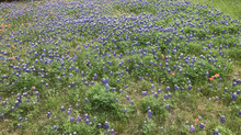 Spring in Texas Means Bluebonnets, and Bluebonnet Soap