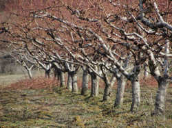 Pfirsichbäume