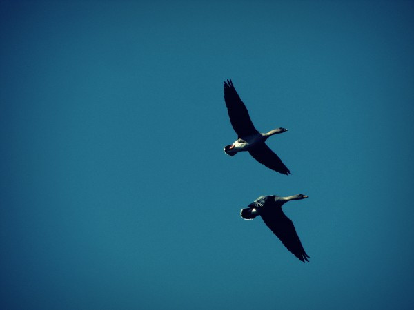 two_geese