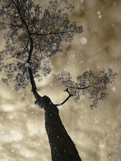 Pinus Sylvestris, 2018 ©Ilona Langbroek