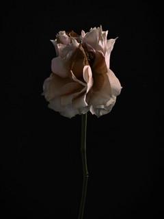 Rose, 2018 ©Ilona Langbroek