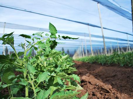 ¿Sabés porqué nuestros tomates son tan ricos?