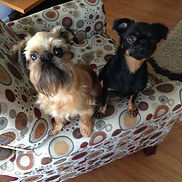 Gunner, Fable, Brussels Griffon, Your Groomers, 15 Cobequid Rd, Lower Sackville, NS