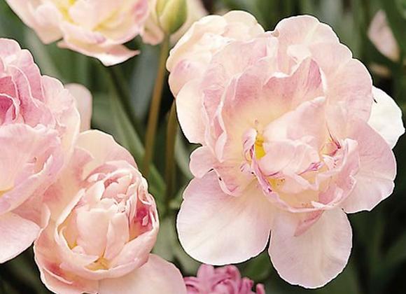 Angelique tulip bulb-10 count