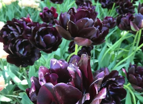 Black Hero tulip bulb-10 count
