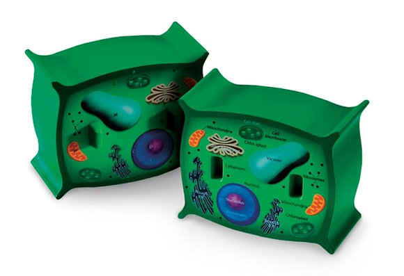 Cross Section of Plant Cell Model