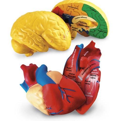 Cross-Section Heart & Brain Model Set