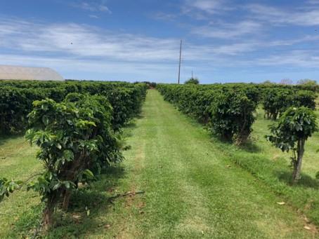 穏やかコーヒー農園